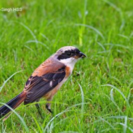 Long-tailed Shrike – juveniles and adults