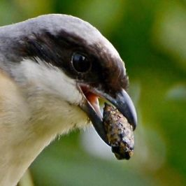 Long-tailed Shrike Casting A Pellet