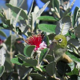 SILVEREYE FEEDING ON FEIJOA FLOWERS