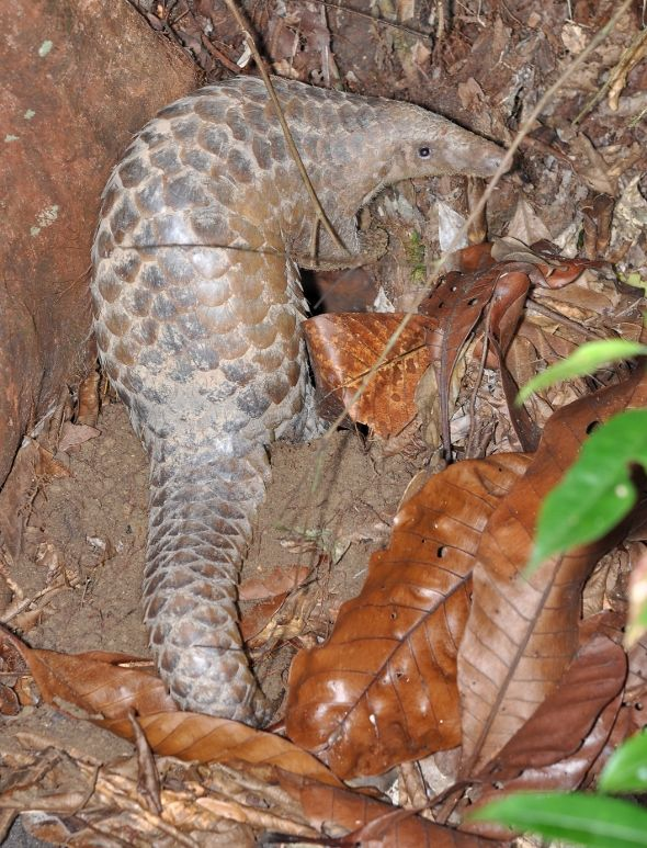 SAVE MACRITCHIE FOREST: 14. A PANGOLIN'S PLEA