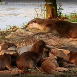 Spread of the Smooth Otters in Singapore
