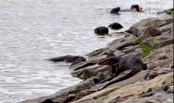 Smooth Otters and the Malayan Water Monitor