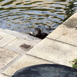 Smooth Otters spotted in Singapore River