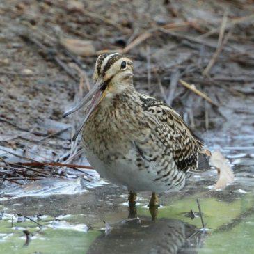 Need to document Rhynchokinesis in long-billed shorebirds