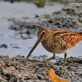 Common Snipe – feeding behaviour