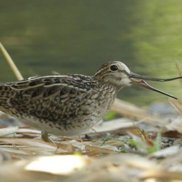 Pintail Snipe's tongue and bill