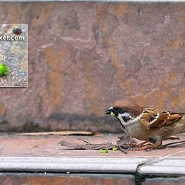 Eurasian Tree Sparrow eating fruits of <em>Acalypha siamensis</em>