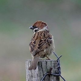 Eurasian Tree-sparrow – courtship calls