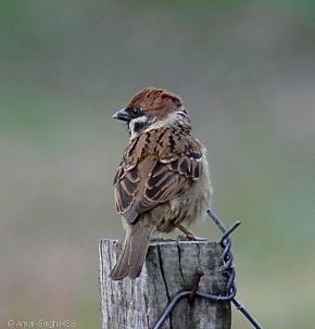 Eurasian Tree Sparrow calls