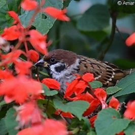 Eurasian Tree Sparrows feeding on <em>Salvia splendens</em> seeds