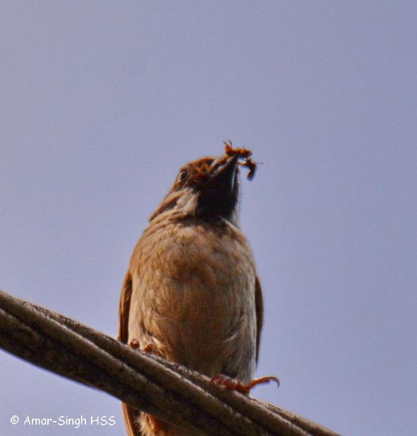 SparrowET-Sandakan [AmarSingh] 5