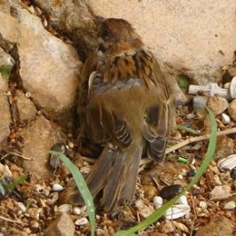 More Eurasian Tree Sparrows with eye problems