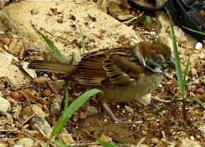 The sad story of a partially blind Eurasian Tree Sparrow