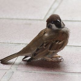 How much do we know about our Eurasian Tree-sparrow?