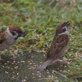 Eurasian Tree Sparrows feeding in the rain