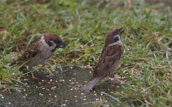Eurasian Tree Sparrows feeding in the rain
