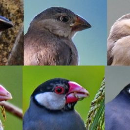 Java Sparrow – juvenile to adult transition