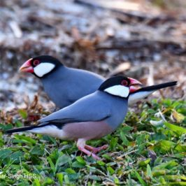 Java Sparrow feeding on plants