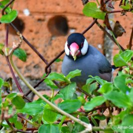 Java Sparrow – new food source