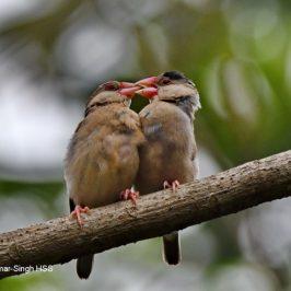 Java Sparrow – juveniles