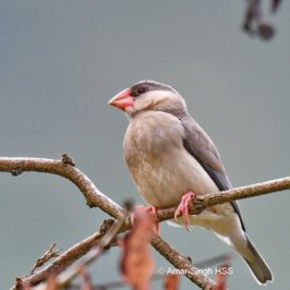 Java Sparrow – juveniles