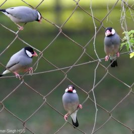 Java Sparrow – courtship behaviour