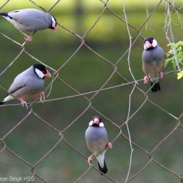Java Sparrow – courtship behaviour