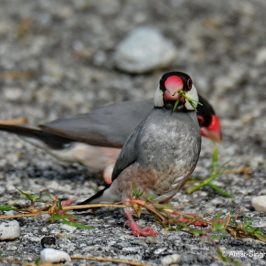 Java Sparrow feeding on stems of Bermuda grass