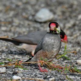 Java Sparrow feeding on stems of Bermuda grass