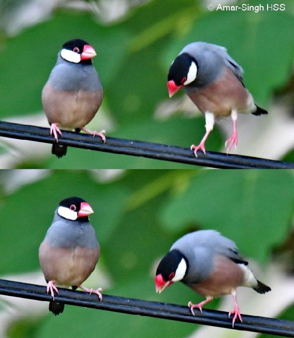 SparrowJv-ct [AmarSingh] 2