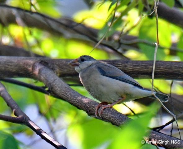 SparrowJv-jv [AmarSingh]