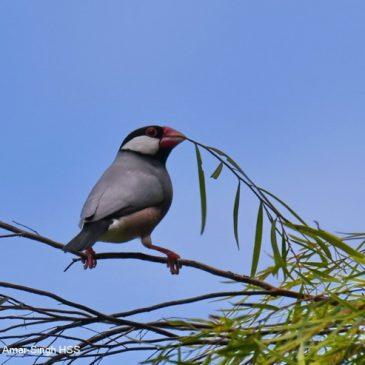 Java Sparrow – nesting material