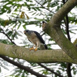 Chinese Sparrowhawk sighted