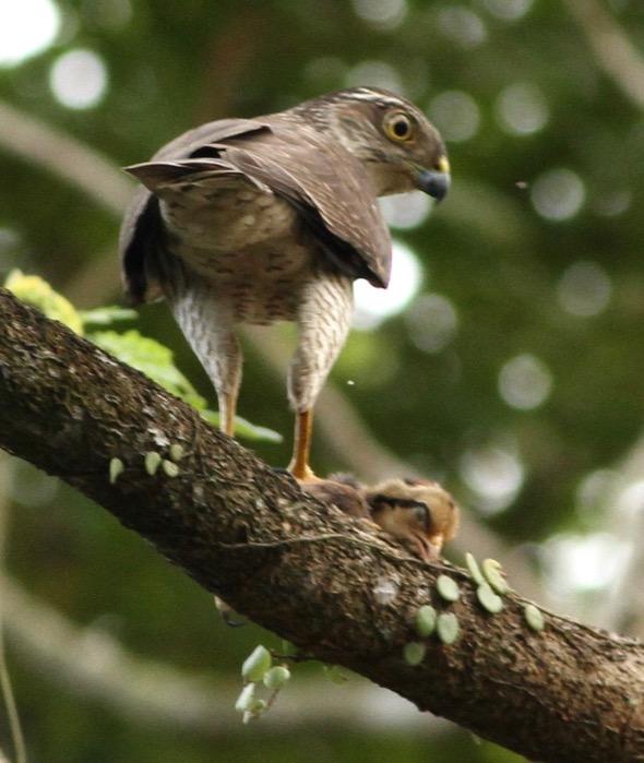 SparrowhawkJ [ThongChowNgian]