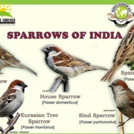 Sparrows in my garden in India