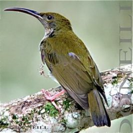 © SPIDERHUNTERS' mascot Bird: Grey-Breasted Spiderhunter