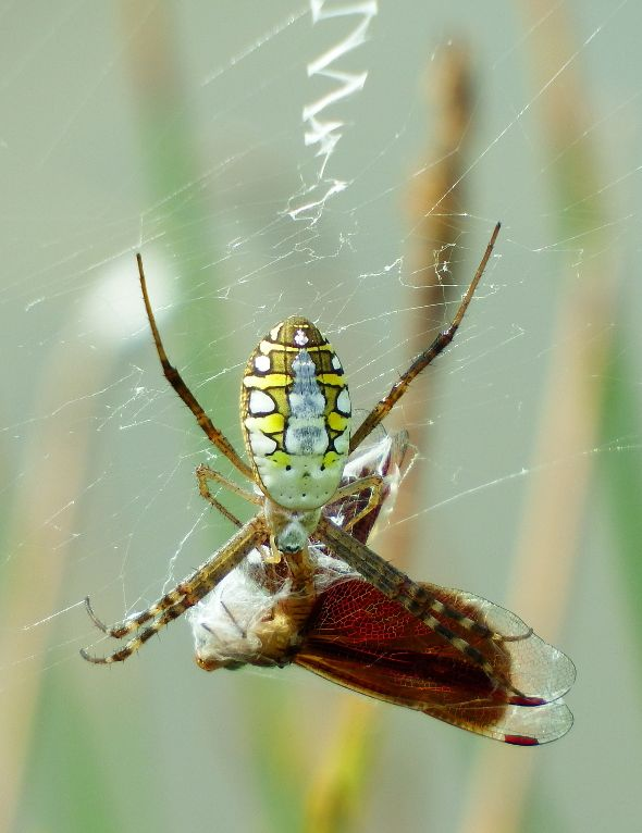 SPIDER FEEDING ON DRAGONFLY