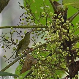 Grey-breasted Spiderhunter feeding on <em>Macaranga gigantea</em> fruits