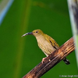 Grey-breasted Spiderhunter and <em>Musa</em> &#8216;1000 Fingers&#8217;
