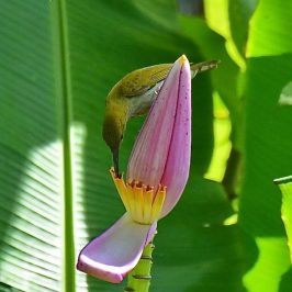 Grey-breasted Spiderhunter feeding on <em>Musa ornata</em> nectar