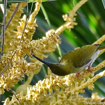 Grey-breasted Spiderhunter feeds on coconut flower nectar and calls