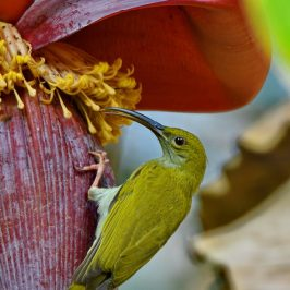 Grey-breasted Spiderhunter – immature with eye-ring
