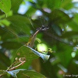 Grey-breasted Spiderhunter – spider prey