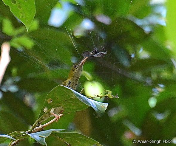 Grey-breasted Spiderhunter - spider prey