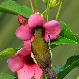 Little Spiderhunter feeding nectar from Allamanda flowers