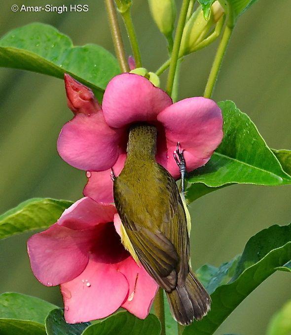 Little Spiderhunter feeding nectar from Allamanda flowers