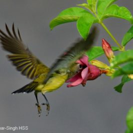 Little Spiderhunter hovering