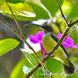 Little Spiderhunter – feeding and call
