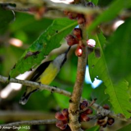 Little Spiderhunter's food and calls