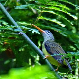 Little Spiderhunter – juvenile characteristics